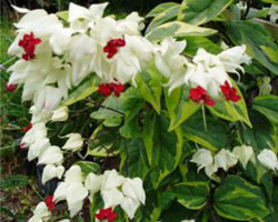 bleeding heart plant care instructions