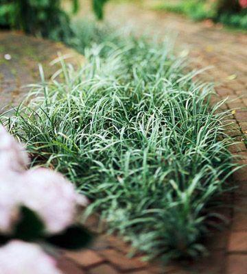 dwarf mondo grass planting instructions