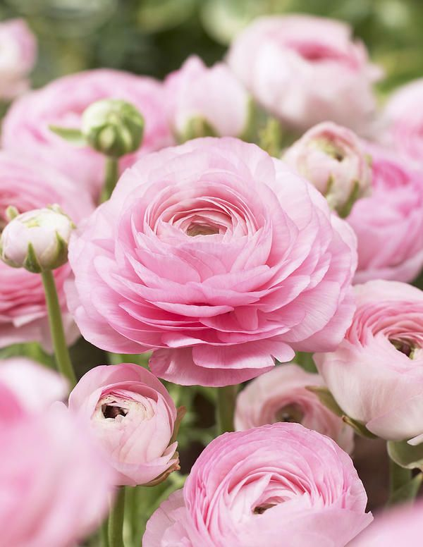 ranunculus bulbs planting instructions