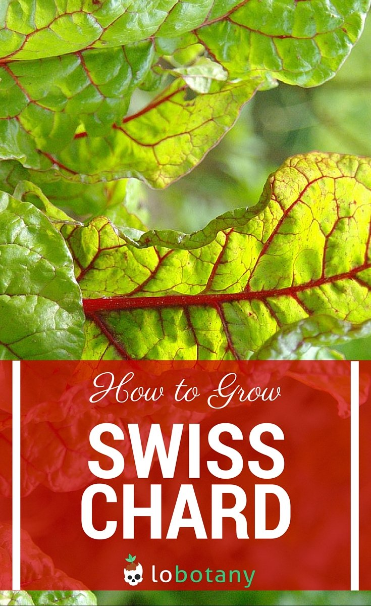 swiss chard planting instructions